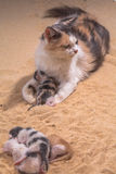 Cat baby in the sand Royalty Free Stock Images