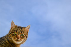 Cat on a background. Of blue sky, space Royalty Free Stock Images