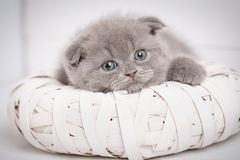 A true friend. Cute kitty. Scottish kitten portrait. Cat at home. Cat background. Images-picture for a calendar with cats. Cat poster. Kitty with blue eyes Royalty Free Stock Image