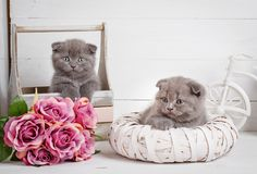 A true friend. Cute kitty. Scottish kitten portrait. Cat at home. Cat background. Images-picture for a calendar with cats. Cat poster. Kitty with blue eyes Royalty Free Stock Photography