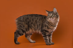 Cat on a background isolated Stock Photography