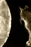Cat in backlight Royalty Free Stock Images
