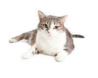 Cat With Bad Eye Infection Stock Photography