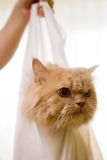 Cat in a bag #2. Cat in a plastic bag Stock Photography