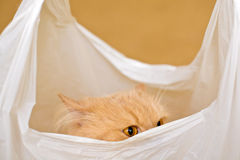 Cat in a bag. Domestic cat in a white plastic bag Stock Image
