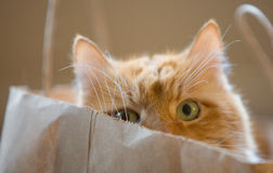 Cat in a Bag. Orange cat looking out from a paper bag Royalty Free Stock Photos