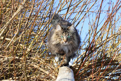 Cat balance Stock Photography