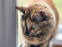 Tortiecat looks out the window through the protective grid. Cat on the balcony, looking across the grid on the street. Spring outside the window Royalty Free Stock Image