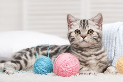 Cat with a ball of yarn. Lying on the carpet in the interior Royalty Free Stock Image