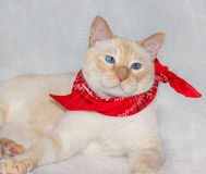 Cat in a bandana Royalty Free Stock Images