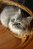 Cat in a basket - 1. Illustration for magazine about animals Stock Image