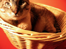 Cat in a Basket. A cat sitting in a round wicker basket, red background. Focus on the cats face and the front of the basket stock photography