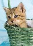 Cat in the basket Royalty Free Stock Photo