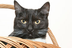 Cat in basket. The cat in wicker basket Royalty Free Stock Images