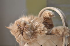 Cat in a basket Royalty Free Stock Image
