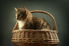 Cat in basket Royalty Free Stock Image