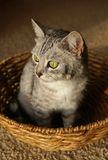 Cat in the basket. Grey stripped cat sitting in the wicker basket Royalty Free Stock Image