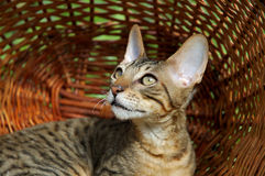 Cat in Basket Royalty Free Stock Images