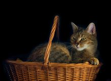 Cat in basket Stock Image