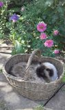 Cat in the basket Royalty Free Stock Image