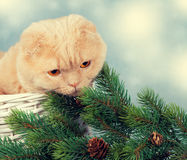 Cat in a basket with cristmass tree Royalty Free Stock Images