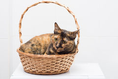 Cat in a basket Royalty Free Stock Photo