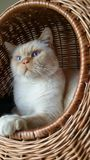 Cat in a basket. Fluffy white cat with blue eyes sitting in a basket Royalty Free Stock Photos