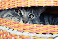 Cat in the basket. Frightened kitty hiding in the basket. Afraid to come out stock photo