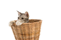 Cat in basket,look outside,isolated white background Stock Image