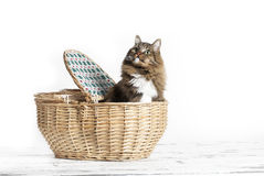 Cat in Basket Royalty Free Stock Photography