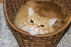 Cat in a basket Stock Photos