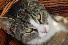 Cat in basket stock image