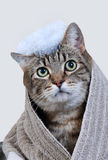 Cat bath. Gray tabby cat with towel around shoulders and suds on top of head.  On white background Royalty Free Stock Photo