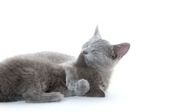 Cat bath. Adult gray cat giving kitten a bath on white background Stock Photography