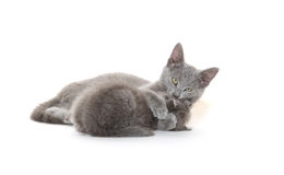 Cat bath. Adult gray cat giving kitten a bath on white background Royalty Free Stock Images