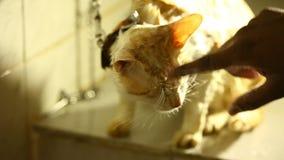 Cat Bath am Badezimmer stock footage