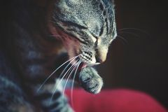Cat Bath. Grey tabby cat licking his paw Stock Photos