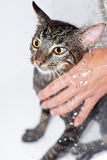 Cat Bathing Royalty Free Stock Images