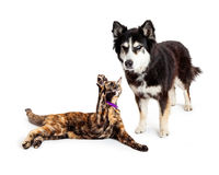 Cat Batting at Angry Dog. An angry large Alaskan Malamute mixed breed dog scowling at a cat that is batting his paw at him Stock Photo
