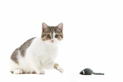 Cat batting at a toy mouse with its paw Stock Photography