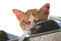 Cat be injured. The cat be injured after the fight Royalty Free Stock Photography