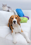 Cat and Beagle dog. Pet cat and Beagle dog on a white sofa stock photography