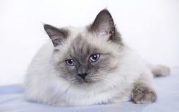 Cat with beautiful blue eyes, Ragdoll Stock Photos