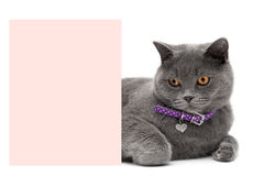Cat in a beautiful collar is about a banner on a white backgroun Stock Images
