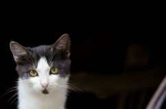 Cat with beautiful eyes. Close-up of black and white cat, with beautiful eyes, against dark background Royalty Free Stock Photography