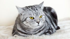 Cat with beautiful eyes. Grey Cat with beautiful yellow  eyes Stock Image