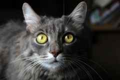 Cat with beautiful eyes Stock Image