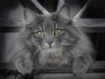 Cat with beautiful green eyes Royalty Free Stock Image