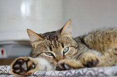 Cat. Beautiful laying  cat looking straight at the camera Stock Images