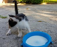 Cat. A Beautiful Little cat drinking milk Royalty Free Stock Images